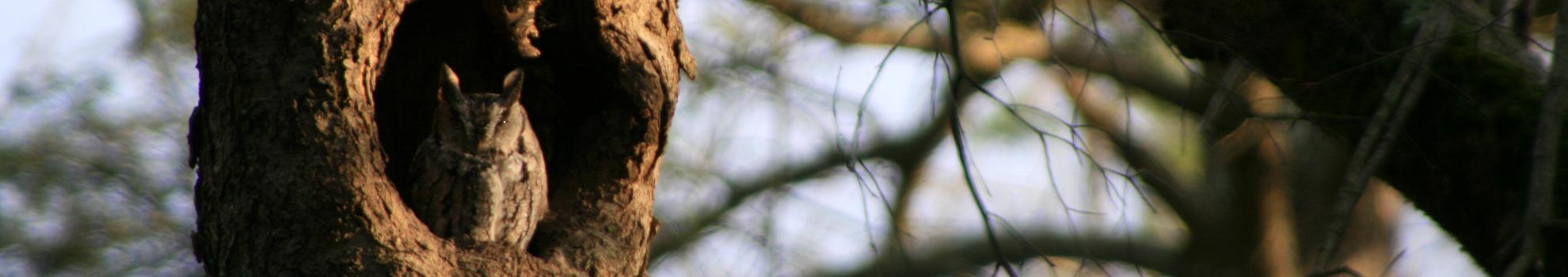 screech-owl-website