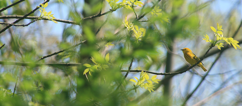 Yellow warbler at The Woods