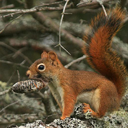 red squirrel with pinecone in mouth