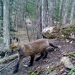 red fox kit on trail