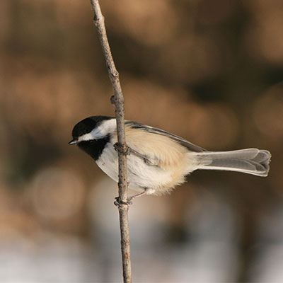 black-capped chickadee on a branch