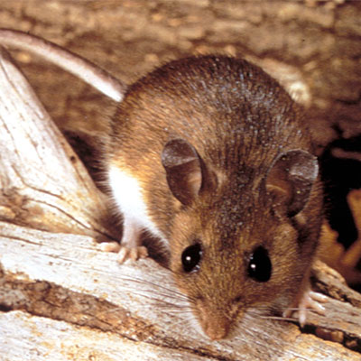 close-up-deer-mouse-
