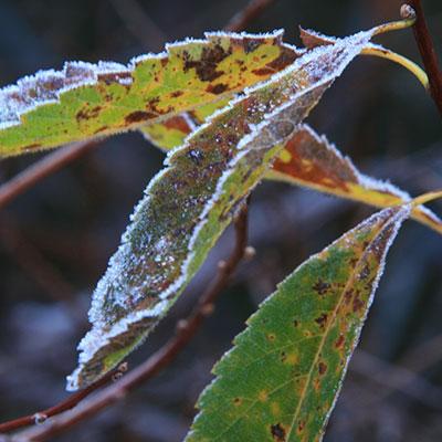 frost on meadowsweet leaves