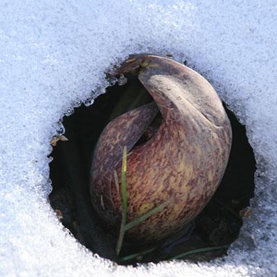 skunk cabbage peeks through snow