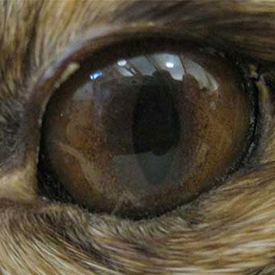 fox eye up close