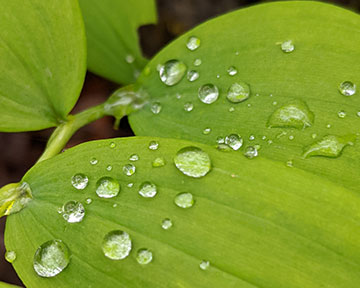 green-leaf- with water-drops