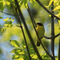 yellow bird in tree