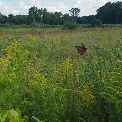 butterfly-flitting-in-field-
