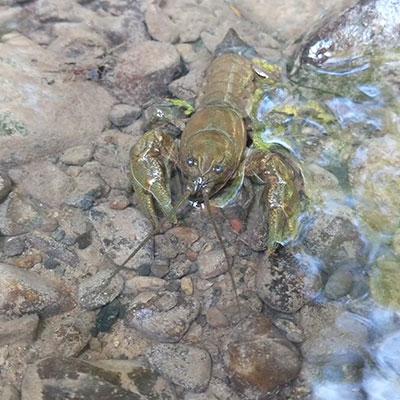 crayfish-in-water-
