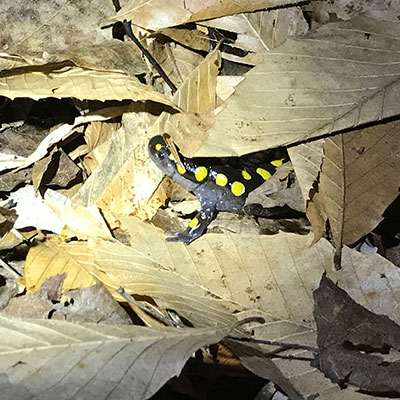 yellow spotted salamander peeking from under leaf litter in spring migration to vernal ponds