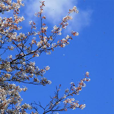 spring-tree-blossoms-