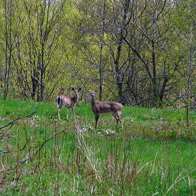 two-deer-in-field