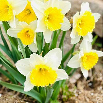 daffodils in a bunch in ground