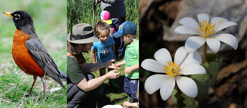 robin; educator showing child a frog; close up of bloodroot blooms