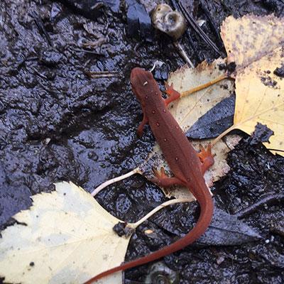 red eft in muddy spring