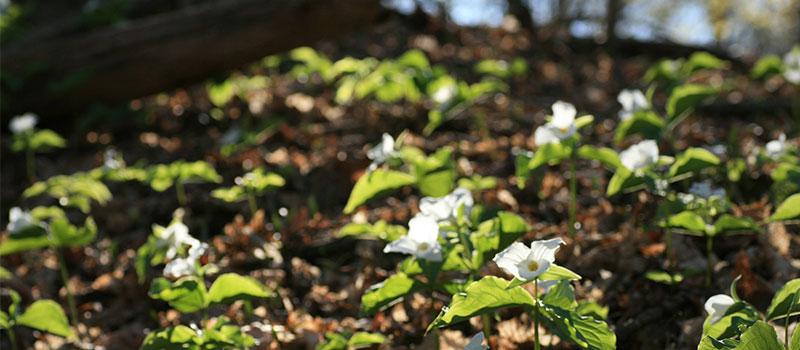 white trillium on forest floor