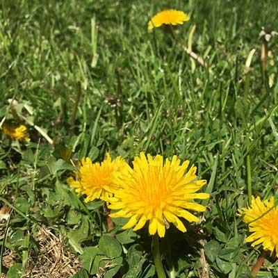 dandelion-in-grass