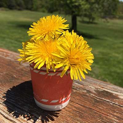 dandelions-in-a-cup