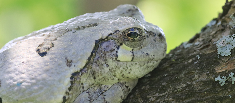 gray treefrog close up on a tree branch