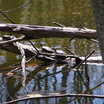 turtle-sunning-pond