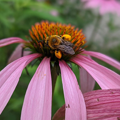 bee-close-up-coneflower-with saddlebags of pollen on legs400x400