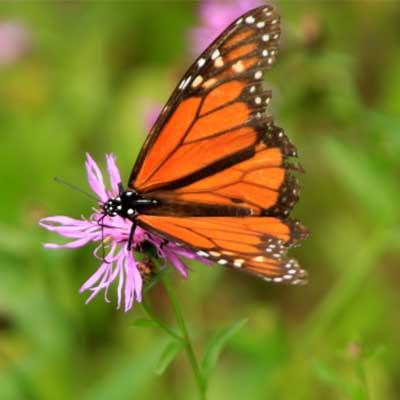 monarch-butterfly on purple flower