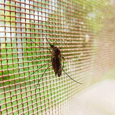 mosquito-in-net