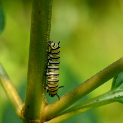 Monarch caterpillar with yellow white and black stripes close up moving down a plant stem