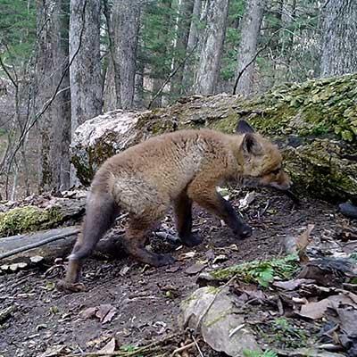 baby-fox