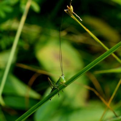 green katydid on a stalk of grass