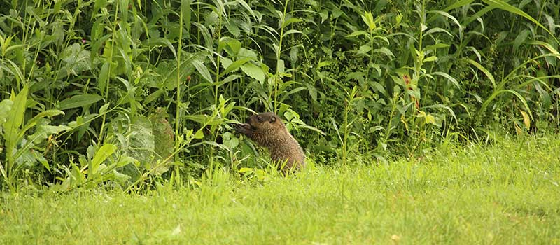 woodchuck along the edge of the meadow in grass
