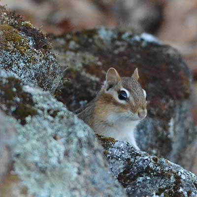 eastern chipmunk peeks out of rocks