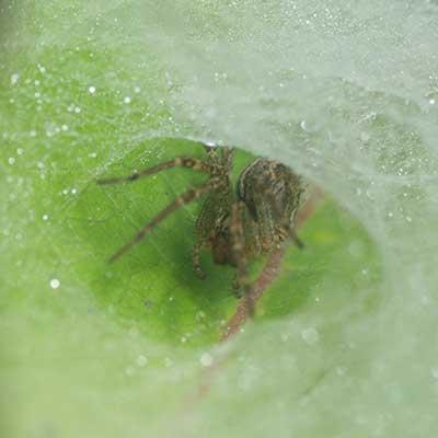 funnel web spider close up of spider inside web