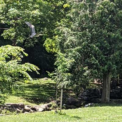 Great Blue Heron flies over grassy backyard lawn