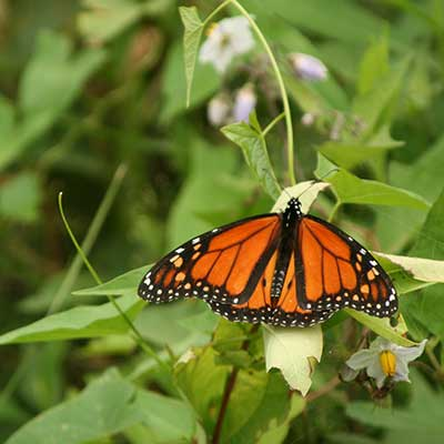 Orange and black Monarch butterfly settled on a horse nettle flower