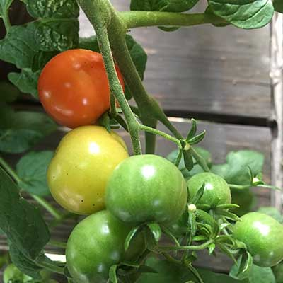 green and red tomatoes-on-vine