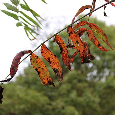 staghorn sumac leaves dying on branch in fall