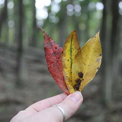 holding three leaves one red two yellow in hand