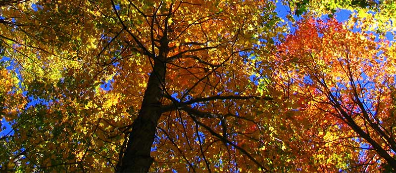 looking up at autumn tree canopy