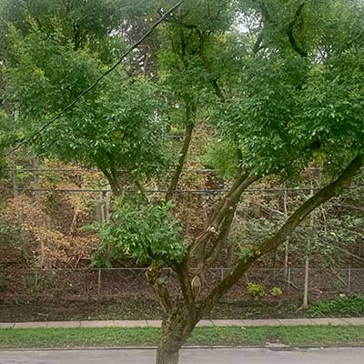 black walnut tree in summer with green leaves