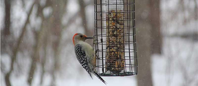 red-bellied woodpecker at a backyard feeder in winter